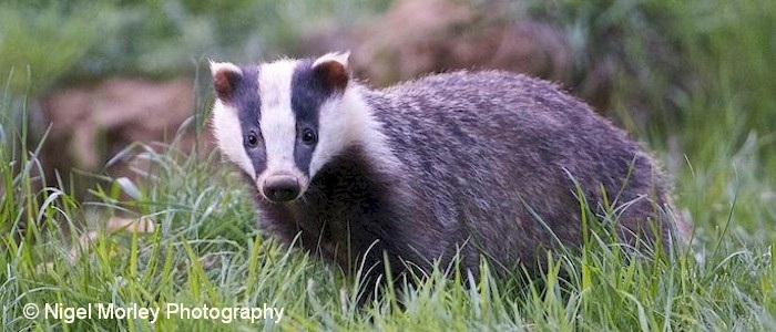 Brook Farm Badger