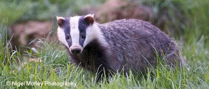 Brook Farm Badger